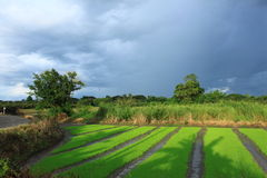 Opinião da exploração agrícola dos arrozes fotografia de stock