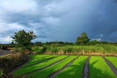 Opinião da exploração agrícola dos arrozes fotos de stock royalty free