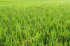 Opinião da exploração agrícola dos arrozes imagens de stock royalty free