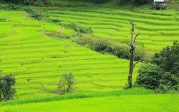 Opinião da exploração agrícola dos arrozes fotografia de stock royalty free