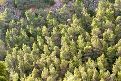 Opinião da floresta das árvores de pinho Fotografia de Stock