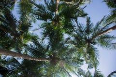 Opinião da formiga da palma de coco Imagem de Stock Royalty Free