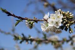 Opinião da mola: flor de cerejeira Fotografia de Stock Royalty Free