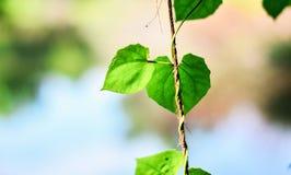 Opinião da natureza do close up da folha verde no jardim no verão sob a luz solar As plantas verdes naturais ajardinam usando-se  Foto de Stock