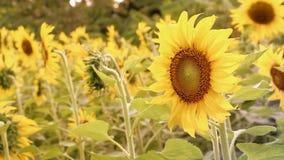Opinião da paisagem do campo do girassol na florescência em um prado à vista do sol de ajuste Flor bonita do girassol no campo de video estoque