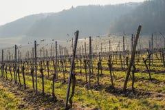 Opinião da paisagem do vinhedo dentro Foto de Stock Royalty Free