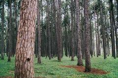 Opinião da paisagem dos pinheiros no parque natural imagem de stock