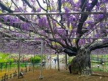 Opinião da paisagem da grande glicínia que floresce na flor de Ashikaga imagens de stock royalty free