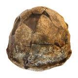 Opinião da parte traseira do crânio de homo erectus Descoberto em 1969 em Sangiran, Java, Indonésia Datado a 1 milhão anos há Foto de Stock