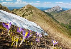 Opinião da primavera de açafrões de florescência Imagens de Stock