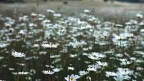 Opinião das flores do prado da natureza do verão Paisagem do campo da camomila do verão Cena do campo da camomila Prado da camomi video estoque
