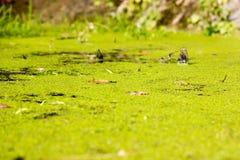 Opinião de árvore da água do verde da lentilha-d'água do pântano Opinião da água da lentilha-d'água do pântano da floresta Nadou  foto de stock royalty free