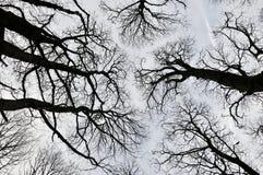 Opinião de árvores da Floresta Negra para cima do dossel com árvores altas foto de stock royalty free