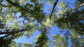 Opinião de ângulo alto na parte superior das árvores de balanço do vento filme