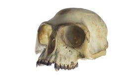 Opinião de ângulo do crânio do macaco no fundo branco foto de stock royalty free