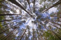 Opinião de ângulo larga da floresta do pinho Imagens de Stock Royalty Free