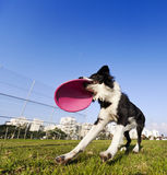 Border collie que trava o brinquedo de Frisby do cão no parque imagem de stock