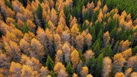 Opinião de AERIALl da floresta colorida do larício na estação do outono ?rvores amarelas e verdes Sobre a floresta alaranjada w d vídeos de arquivo