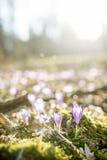 A opinião de baixo ângulo do primeiro açafrão da mola floresce a florescência no beaut Imagem de Stock Royalty Free