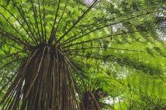 Opinião de baixo ângulo a samambaia de árvore na floresta úmida em Nova Zelândia, ilha sul fotografia de stock