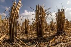 A opinião de baixo ângulo surpreendente da planta de arroz cortou no campo de almofada com o céu nebuloso no fundo Fotos de Stock