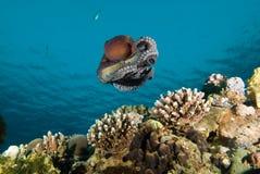 Opinião de baixo ângulo um polvo do recife (cyaneus do polvo) Imagem de Stock