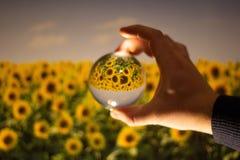 Opinião de cabeça para baixo do campo bonito do girassol de uma bola de cristal foto de stock