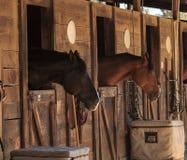 Opinião de cavalo de baía de Brown para fora o estábulo em um celeiro Fotos de Stock