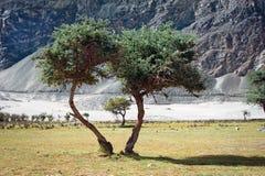Opinião de dia ensolarado com as árvores no vale de Nubra Fotografia de Stock Royalty Free