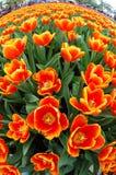 Opinião de Fisheye tulips alaranjados imagens de stock royalty free