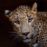 Opinião de Jaguar fotos de stock royalty free