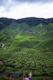 Opinião de plantação de chá em Cameron Highlands, Malásia foto de stock
