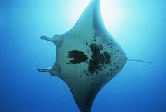 Opinião de raio de manta de Raja Ampat Indonesia Pacific Ocean (birostris do Manta) de baixo de imagem de stock