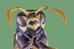 Opinião dianteira da vespa no fundo branco, close-up macro foto de stock