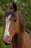 Opinião dianteira de cavalo de louro Imagens de Stock Royalty Free