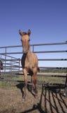 Opinião dianteira do cavalo novo Foto de Stock Royalty Free