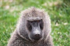 Opinião dianteira do close-up um babuíno com os olhos diferentemente coloridos no parque nacional de Maasai Mara (Kenya) Fotografia de Stock Royalty Free