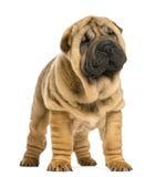 Opinião dianteira o filhote de cachorro do pei de Shar que olha afastado (11 semanas velho) Imagem de Stock
