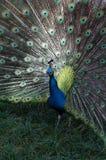 Opinião dianteira o Peafowl indiano masculino Imagem de Stock