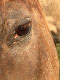 Opinião dianteira próxima dos três quartos do olho marrom de um cavalo colorido roan imagem de stock royalty free