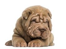 Opinião dianteira um cachorrinho de Shar Pei que encontra-se para baixo, cansado Imagem de Stock Royalty Free