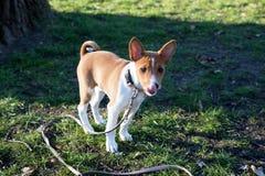 Opinião dianteira um cachorrinho pequeno do basenji de dois tons que está em uma área da grama em um dia do fim do verão em para  foto de stock royalty free