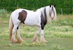 Opinião direita do perfil o cavalo de Clydesdale foto de stock