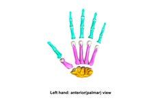 Opinião dispersada palmer anterior da mão esquerda Fotografia de Stock Royalty Free