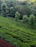 Opinião do ariel do campo da plantação de chá Imagens de Stock Royalty Free
