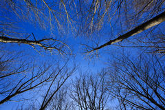 opinião do céu através das árvores desencapado-ramificadas Fotografia de Stock