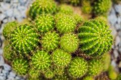 Opinião do cacto verde como um fundo, vista superior do close up, textura imagens de stock