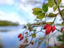 Opinião do close-up as bagas amadurecidas do Rosehip vistas pelo lado de um grande lago no inverno Fotos de Stock Royalty Free