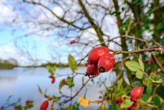 Opinião do close-up as bagas amadurecidas do Rosehip vistas pelo lado de um grande lago no inverno Imagem de Stock Royalty Free
