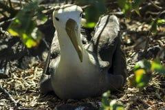 Opinião do close up do assentamento do albatroz foto de stock